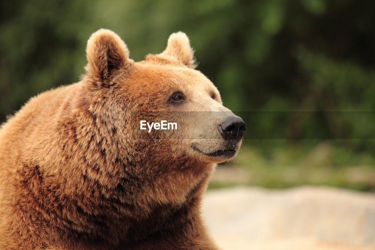 Close-Up Of Bear Looking Away