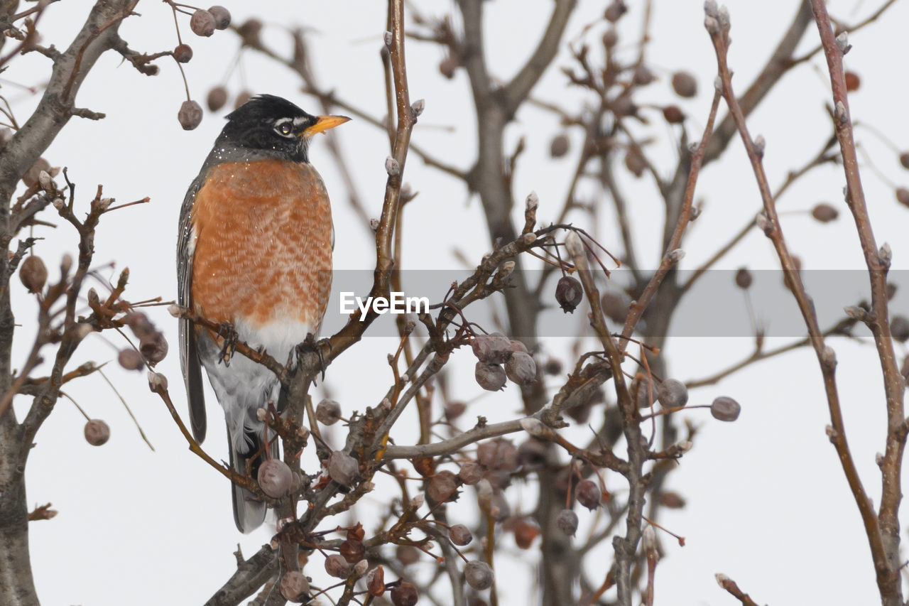 vertebrate, one animal, animal themes, perching, bird, animal wildlife, animal, animals in the wild, tree, branch, plant, nature, no people, low angle view, focus on foreground, day, selective focus, outdoors, bare tree, winter