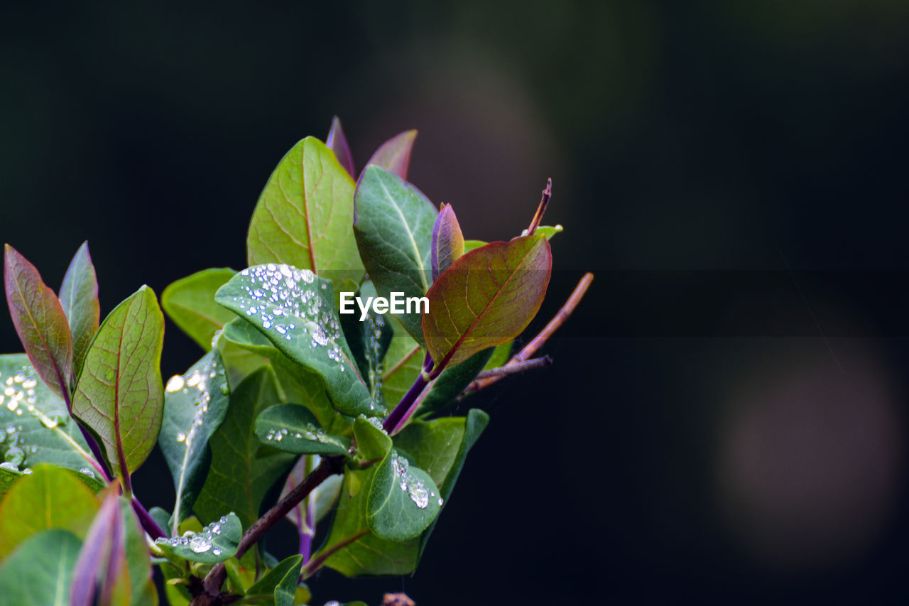 plant part, leaf, plant, growth, beauty in nature, close-up, vulnerability, freshness, focus on foreground, fragility, nature, no people, day, green color, drop, water, flowering plant, wet, flower, outdoors, leaves, dew, raindrop
