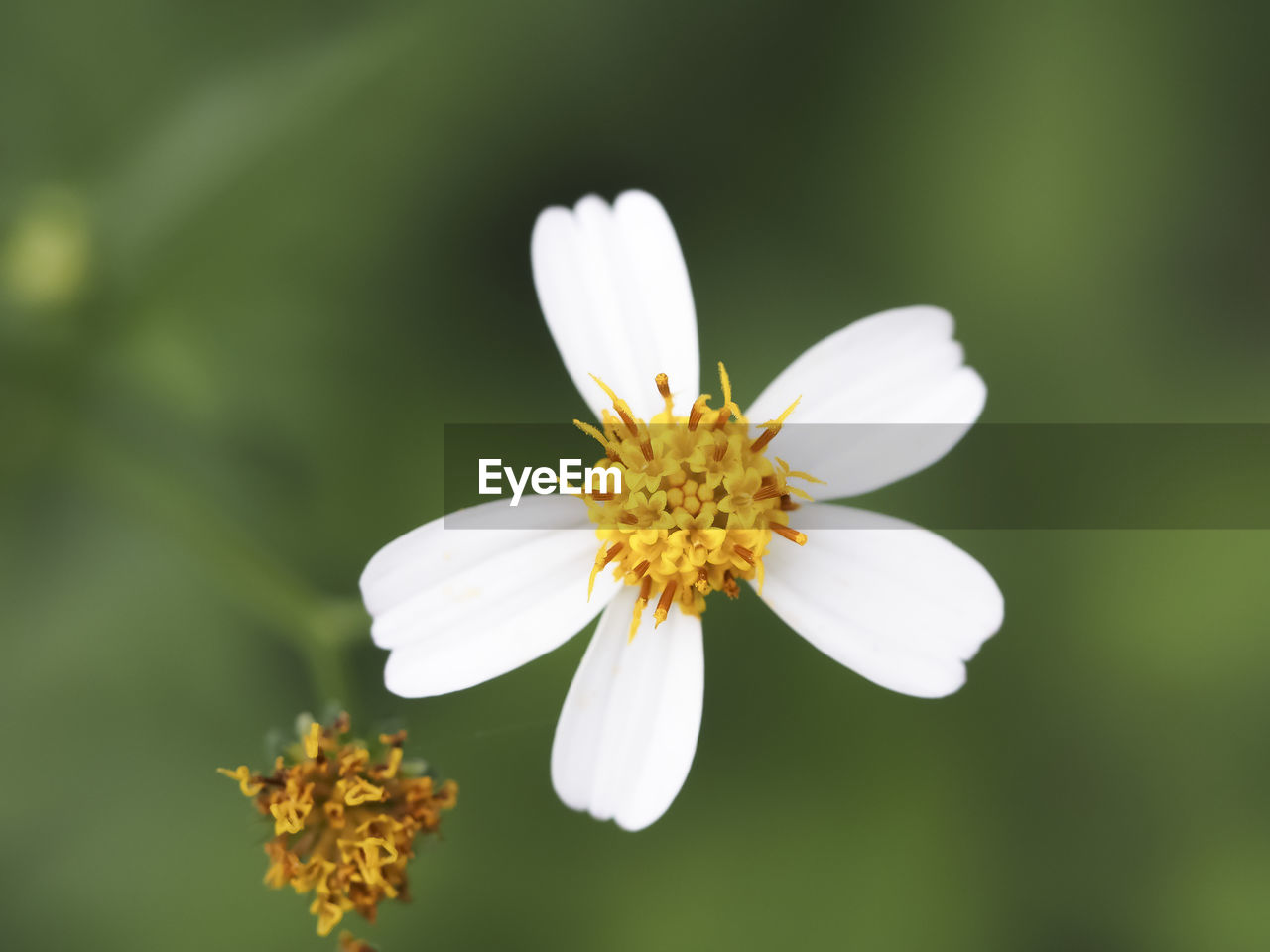 flowering plant, flower, vulnerability, fragility, freshness, beauty in nature, petal, flower head, plant, inflorescence, growth, white color, close-up, pollen, nature, day, no people, selective focus, focus on foreground