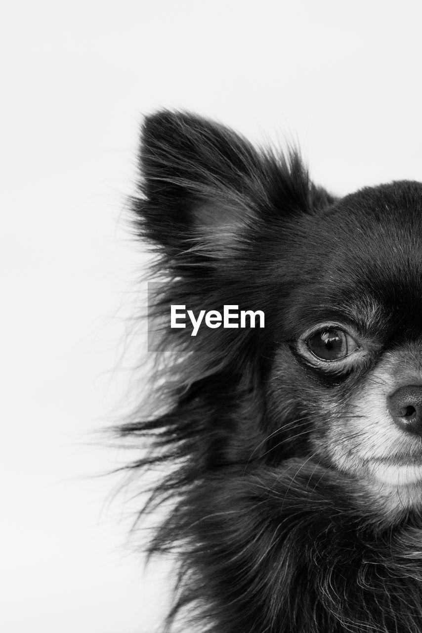 pets, one animal, domestic animals, mammal, dog, animal themes, animal hair, studio shot, white background, close-up, no people, indoors, day