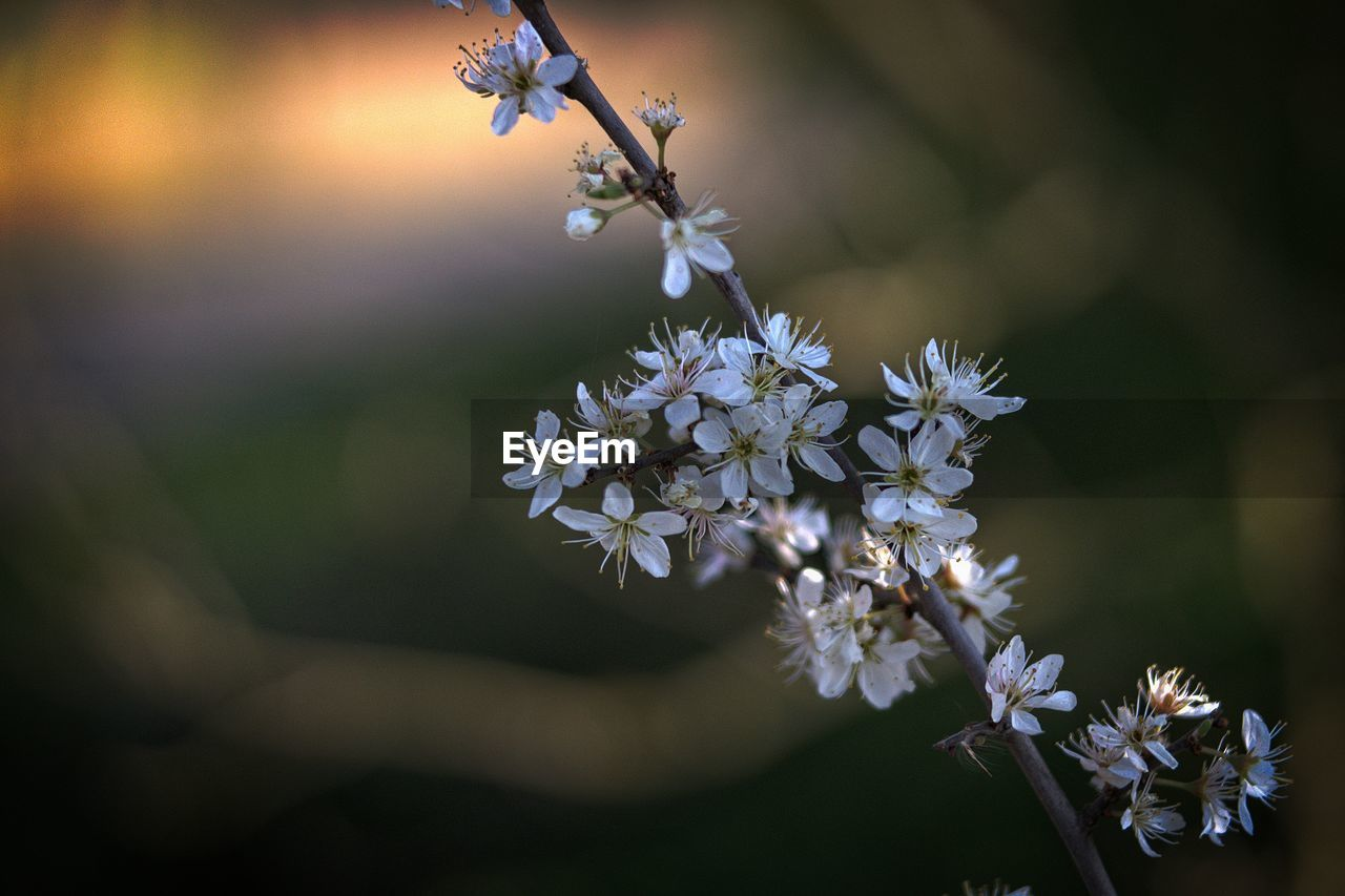 flower, flowering plant, freshness, fragility, plant, vulnerability, beauty in nature, growth, petal, close-up, selective focus, flower head, nature, white color, inflorescence, no people, day, focus on foreground, springtime, blossom, outdoors, cherry blossom
