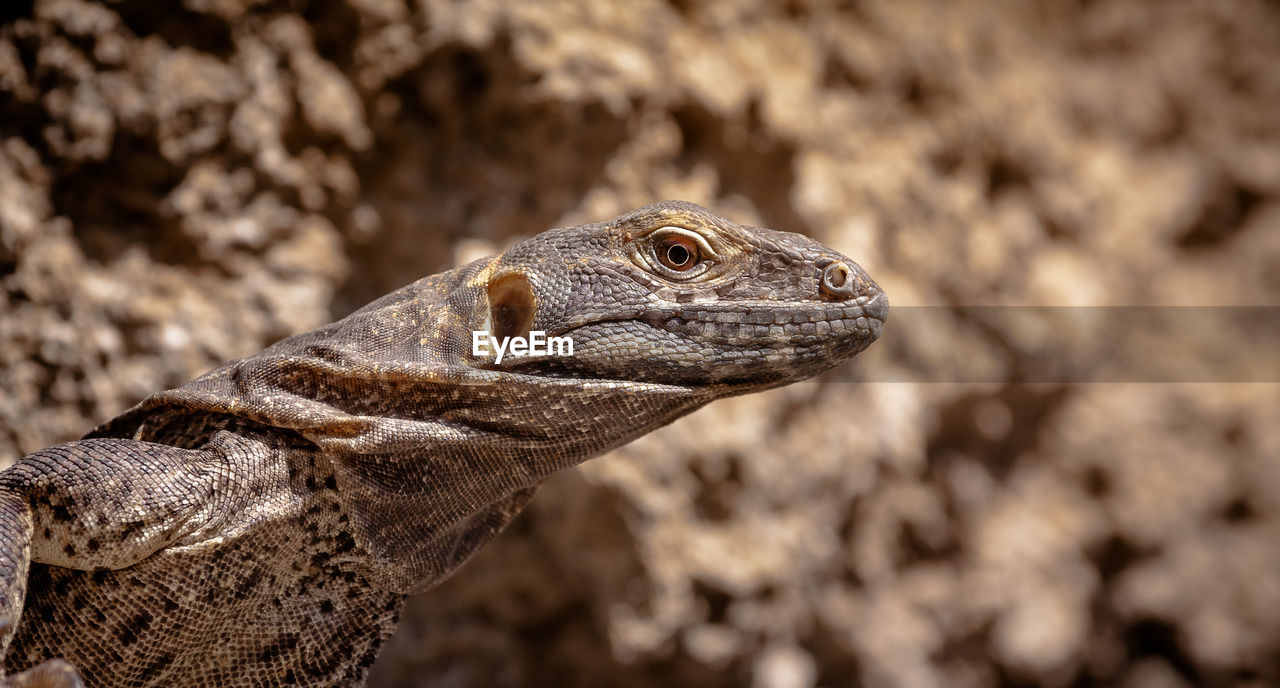 one animal, animal themes, animal, animal wildlife, animals in the wild, reptile, lizard, close-up, focus on foreground, vertebrate, no people, animal body part, animal head, day, nature, outdoors, looking, looking away, side view, brown, animal scale, iguana, animal eye