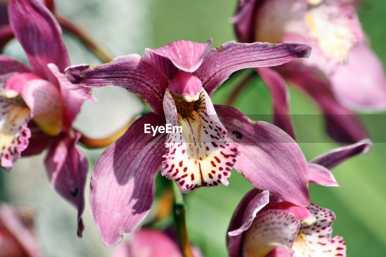 flowering plant, flower, vulnerability, plant, beauty in nature, petal, fragility, freshness, close-up, pink color, growth, flower head, inflorescence, focus on foreground, day, no people, nature, pollen, selective focus, outdoors, springtime, maroon, purple, iris - plant