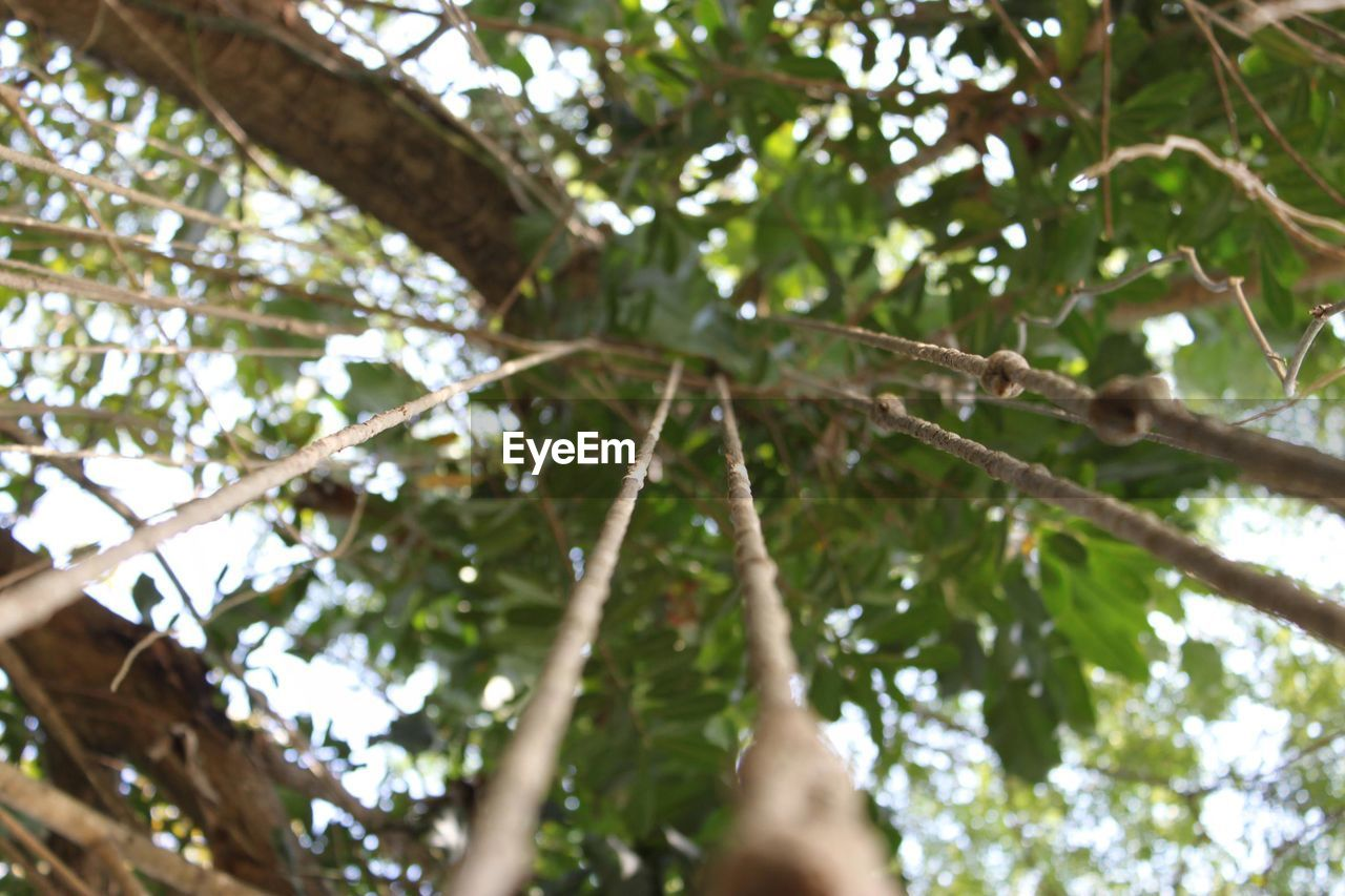tree, low angle view, plant, branch, growth, day, plant part, leaf, nature, no people, outdoors, selective focus, beauty in nature, green color, tree trunk, trunk, tranquility, close-up, forest, focus on foreground, tree canopy, directly below