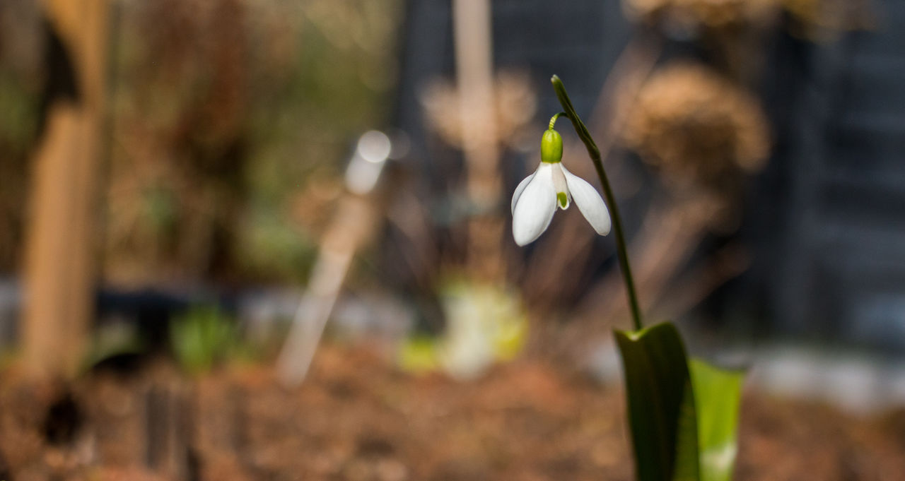Close-up of snowdrop blooming in garden