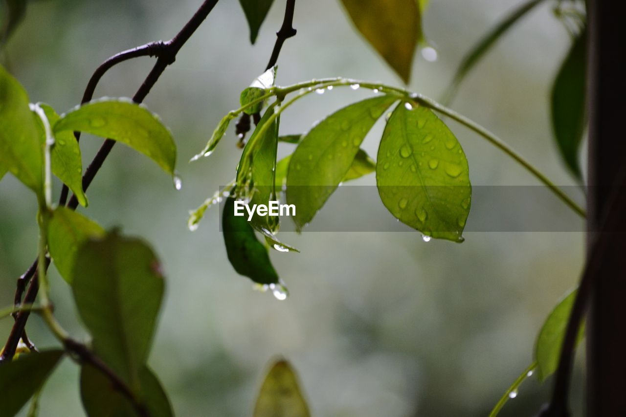 plant part, leaf, plant, growth, beauty in nature, close-up, focus on foreground, green color, drop, wet, water, nature, no people, day, selective focus, freshness, outdoors, rain, tranquility, leaves, raindrop, rainy season, dew, purity