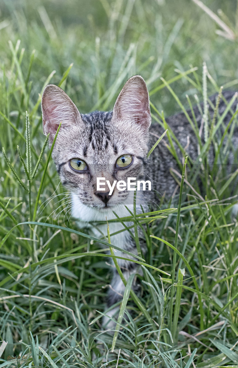 one animal, animal themes, animal, mammal, grass, domestic animals, cat, pets, plant, feline, domestic, looking at camera, portrait, domestic cat, vertebrate, no people, field, land, green color, nature, whisker, animal head, animal eye, tabby