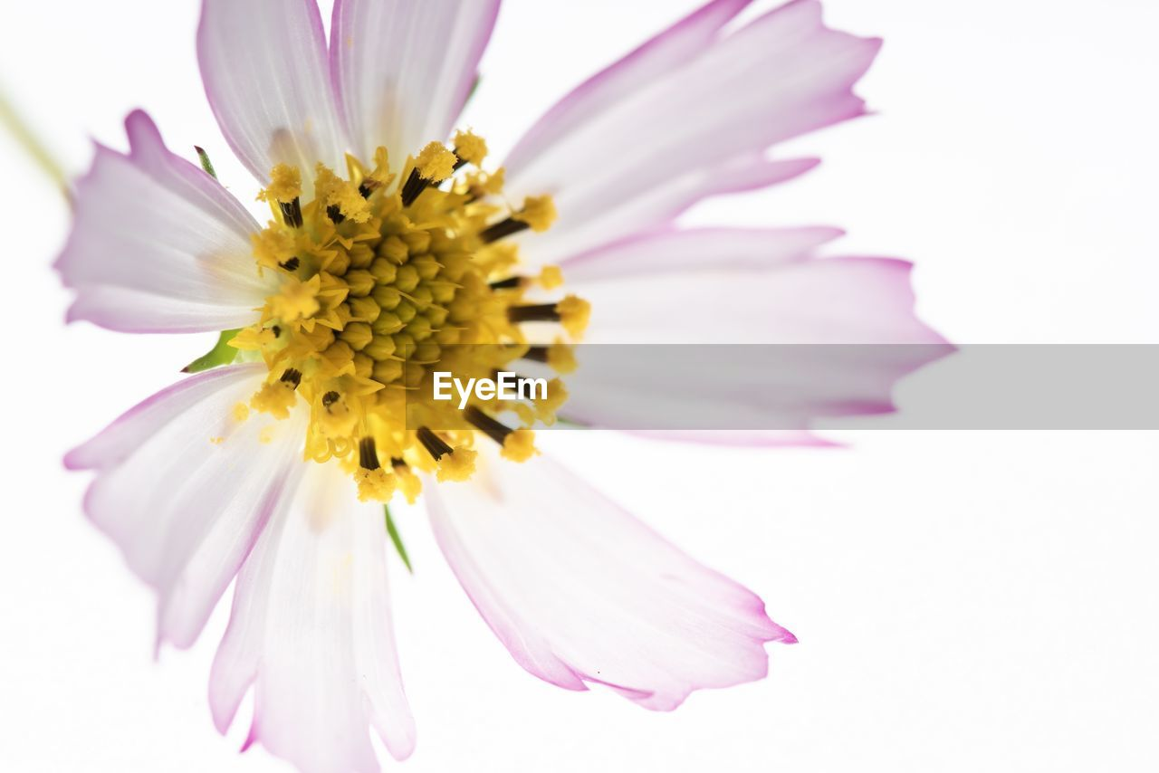 flowering plant, flower, fragility, vulnerability, freshness, flower head, beauty in nature, petal, plant, inflorescence, close-up, pink color, pollen, growth, yellow, studio shot, nature, no people, white background, purple