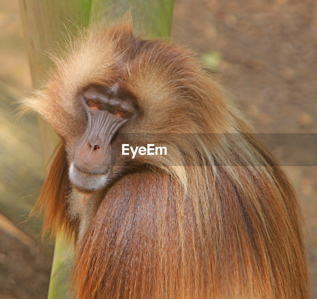 one animal, primate, animal wildlife, focus on foreground, mammal, animals in the wild, vertebrate, close-up, day, brown, no people, hair, animal hair, nature, outdoors, zoology, baboon