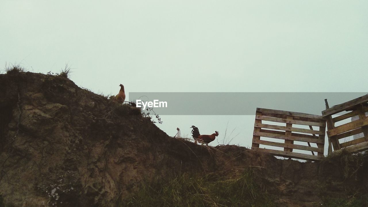 Hens on landscape against clear sky