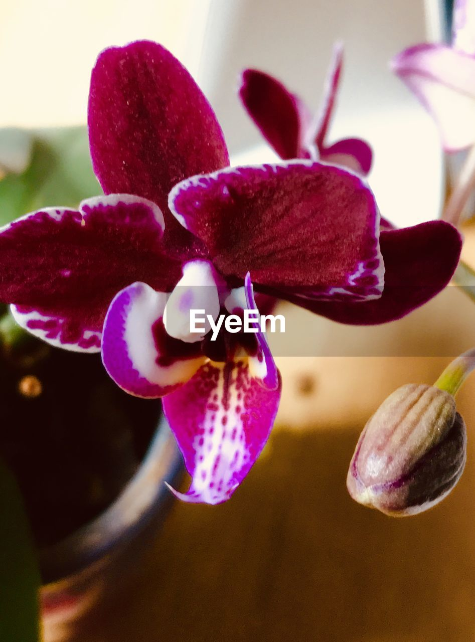 flower, flowering plant, plant, beauty in nature, petal, vulnerability, close-up, fragility, growth, freshness, flower head, inflorescence, no people, orchid, nature, focus on foreground, purple, day, selective focus, pink color, pollen, maroon