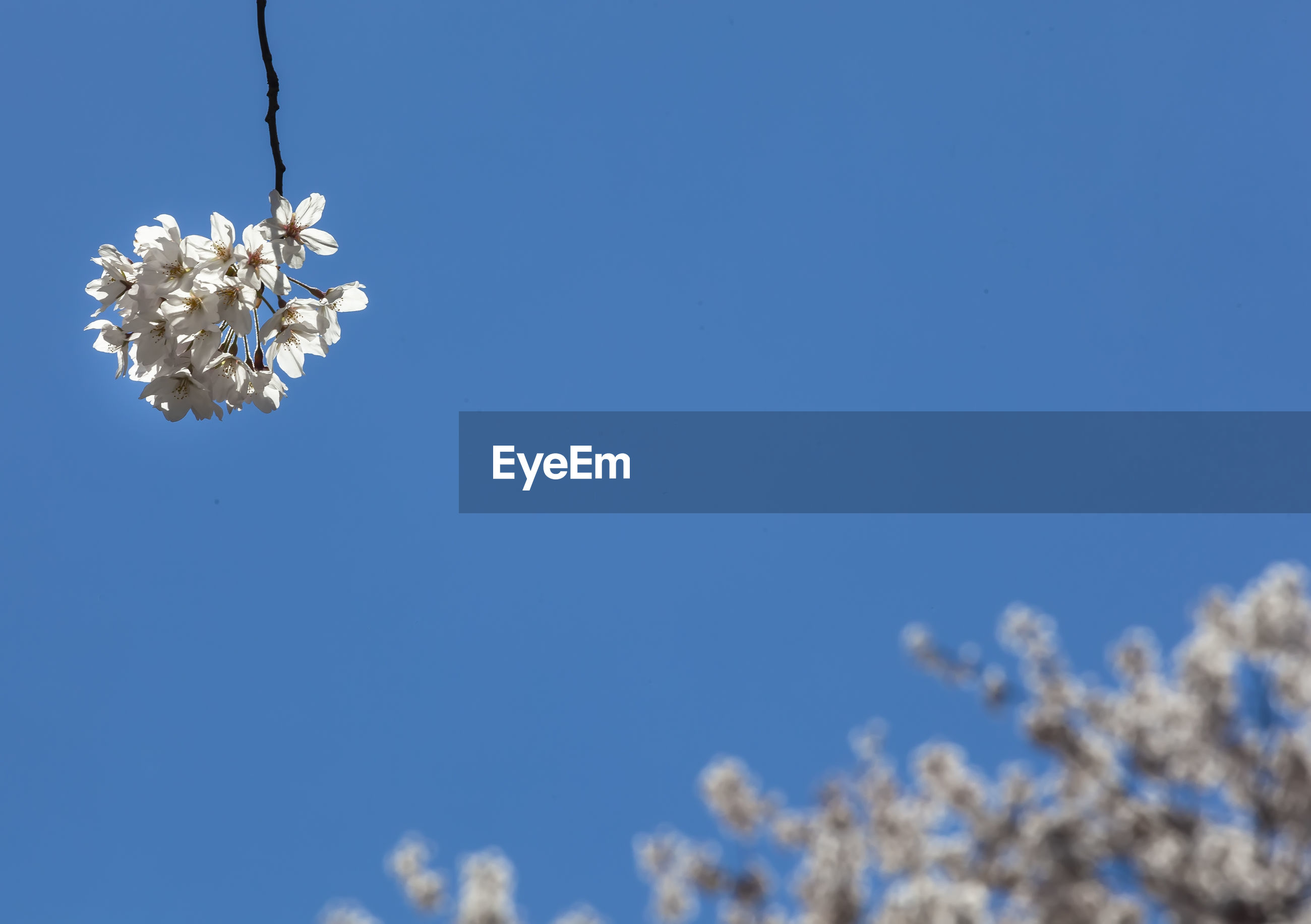 LOW ANGLE VIEW OF CHERRY BLOSSOMS AGAINST BLUE SKY