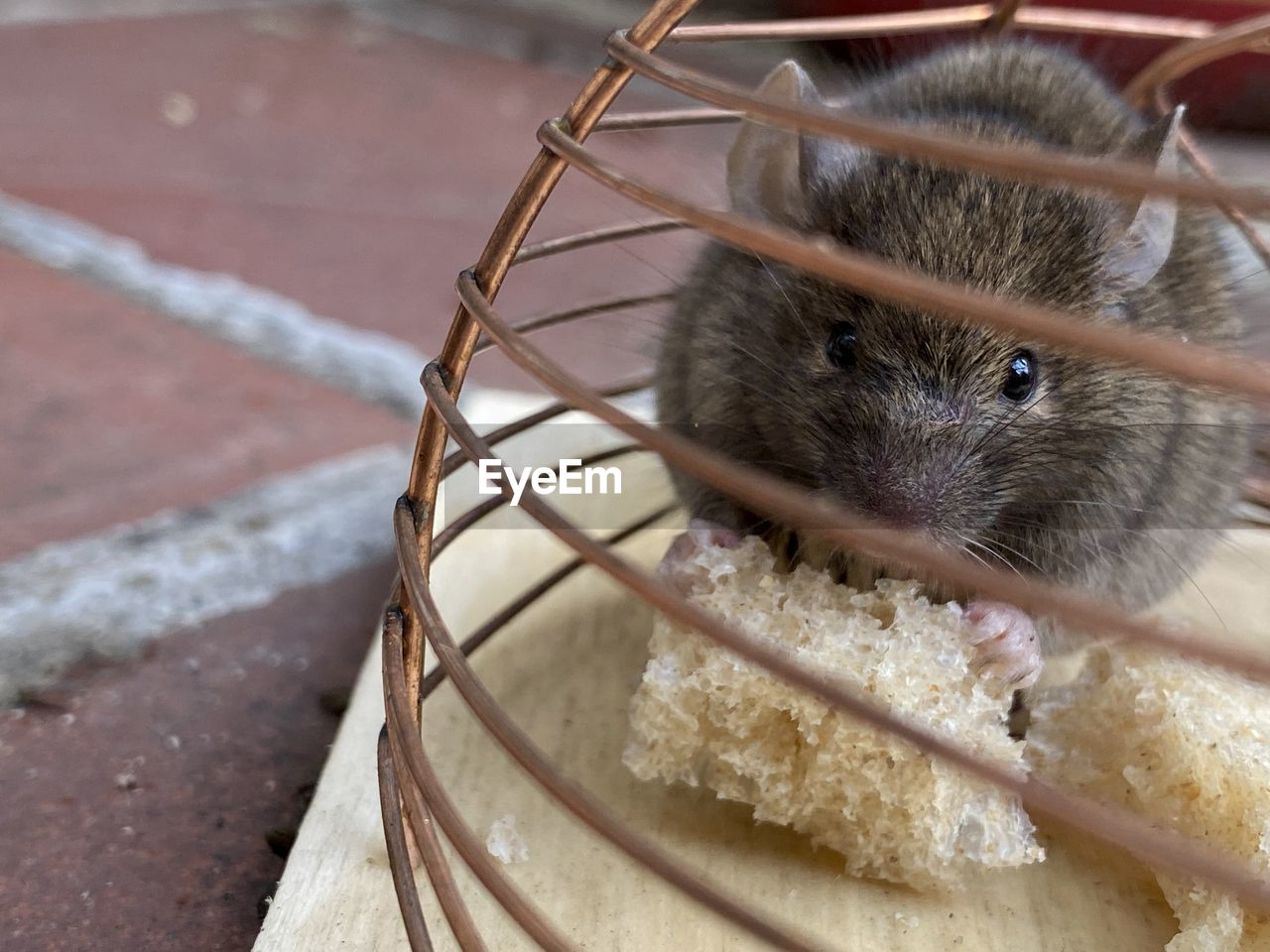 one animal, rodent, mammal, animal themes, animal, close-up, focus on foreground, no people, looking at camera, pets, animal wildlife, day, portrait, domestic, vertebrate, high angle view, outdoors, domestic animals, whisker, eating
