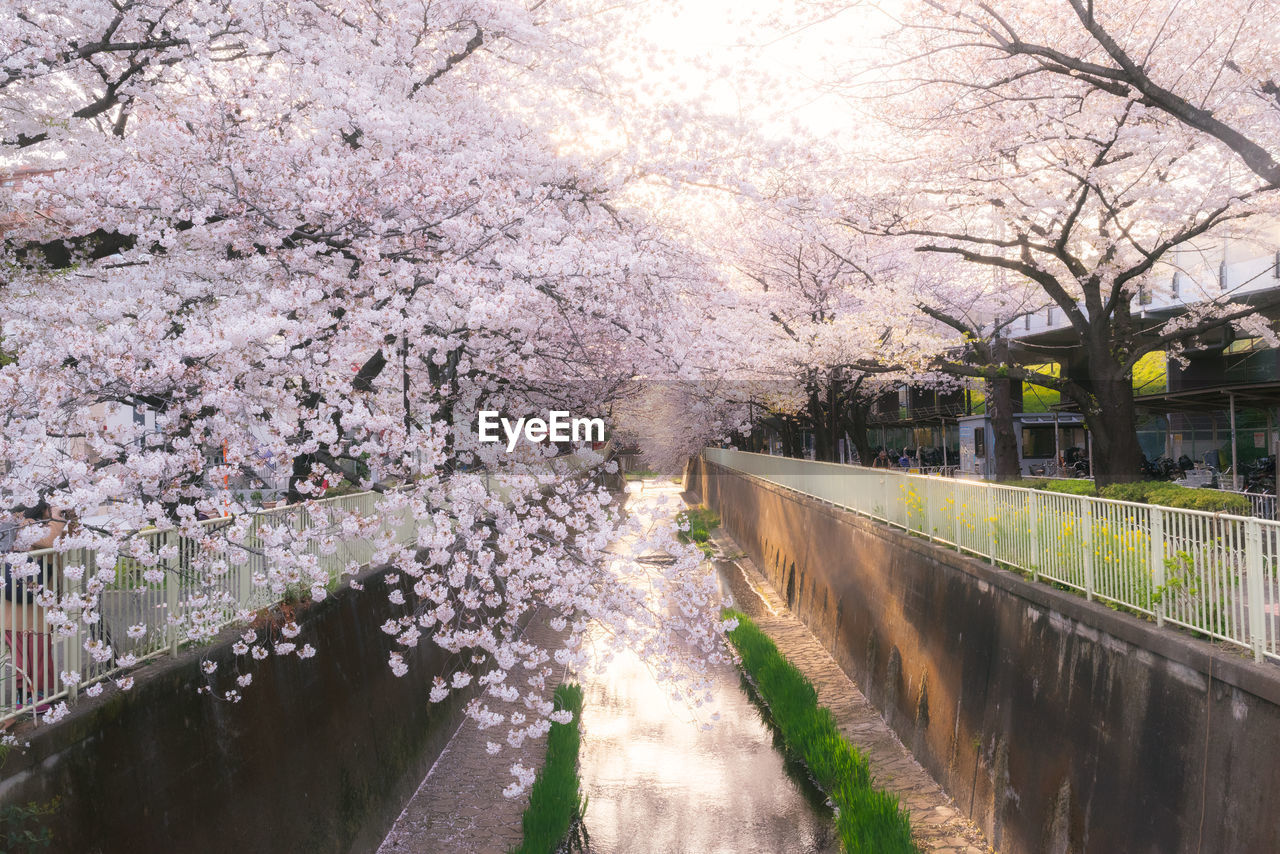 View of cherry blossom trees along the river