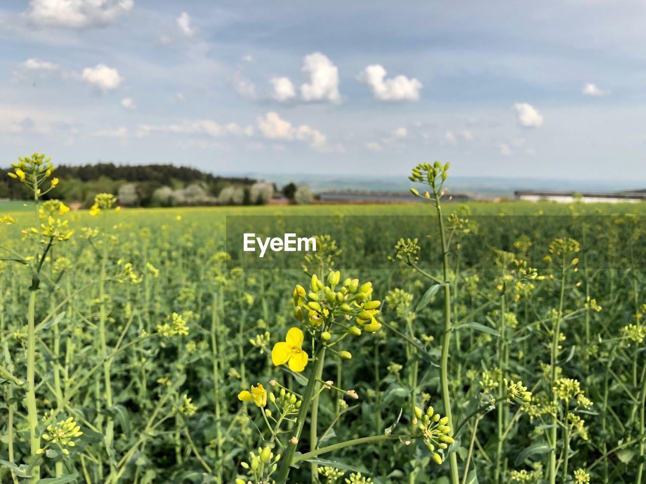 Yellow Flowering Plants On Field Against Sky