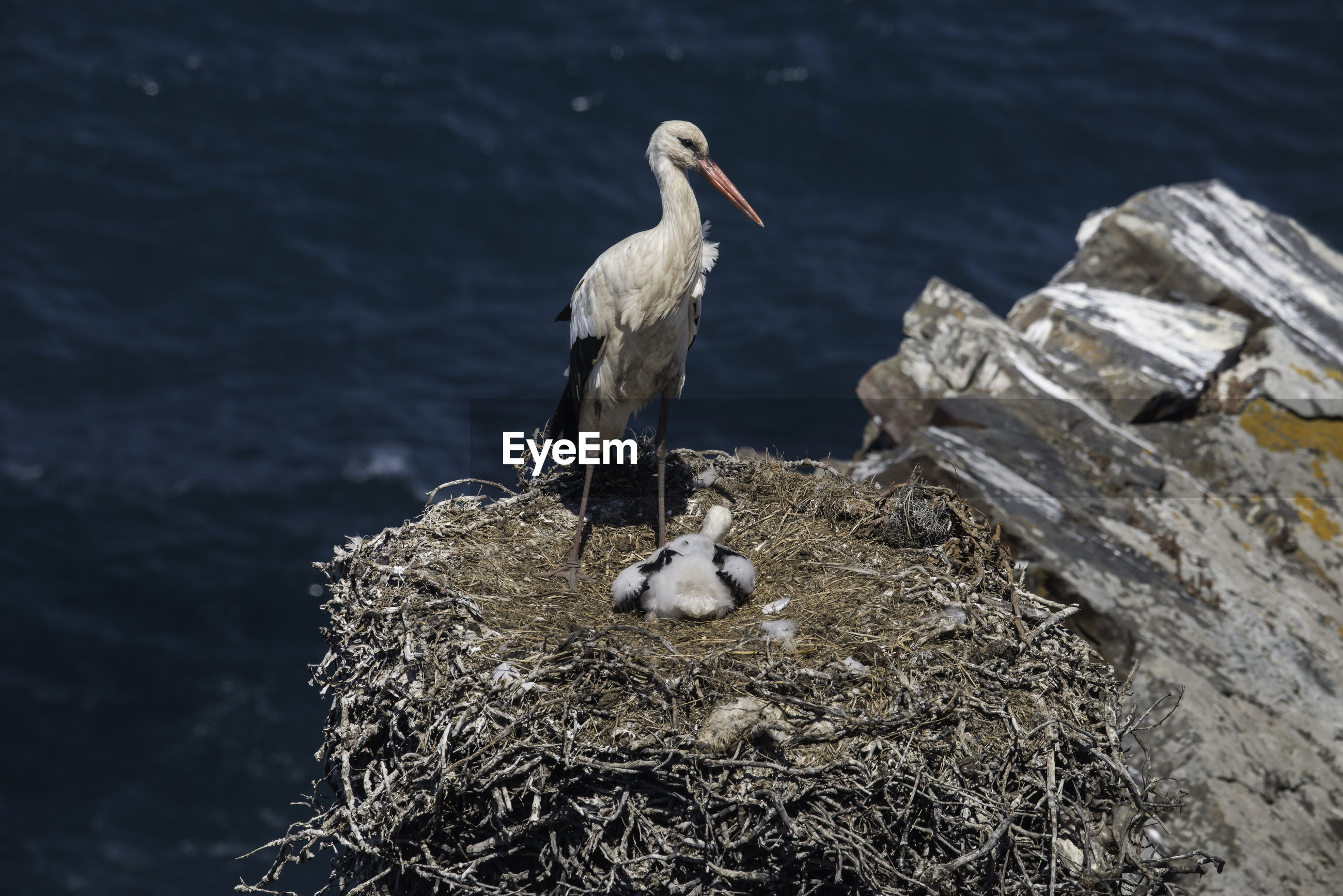 VIEW OF BIRDS IN NEST ON ROCK