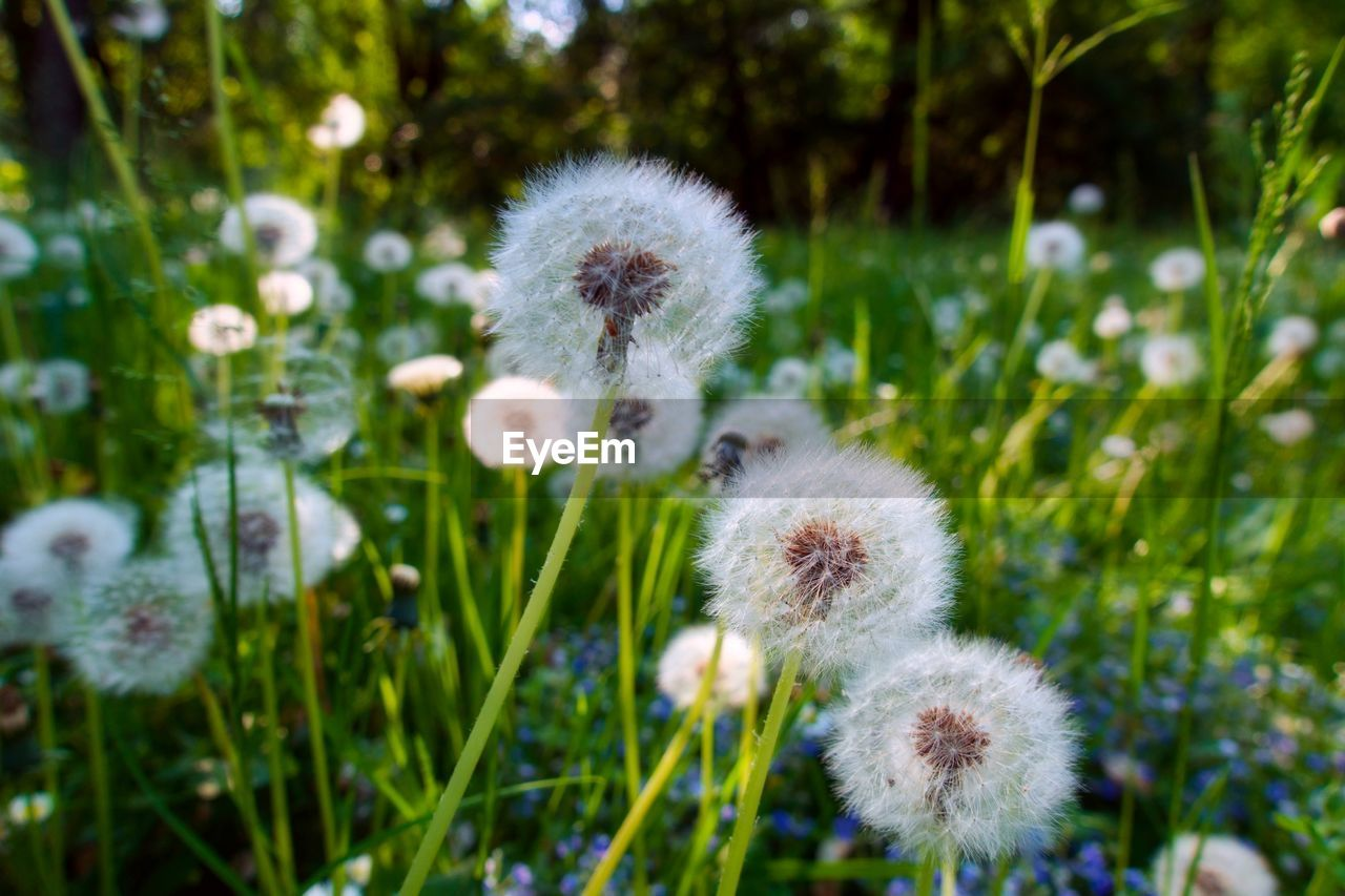 plant, freshness, fragility, growth, flower, vulnerability, beauty in nature, flowering plant, close-up, dandelion, nature, flower head, no people, inflorescence, focus on foreground, softness, day, white color, wildflower, plant stem, outdoors, dandelion seed