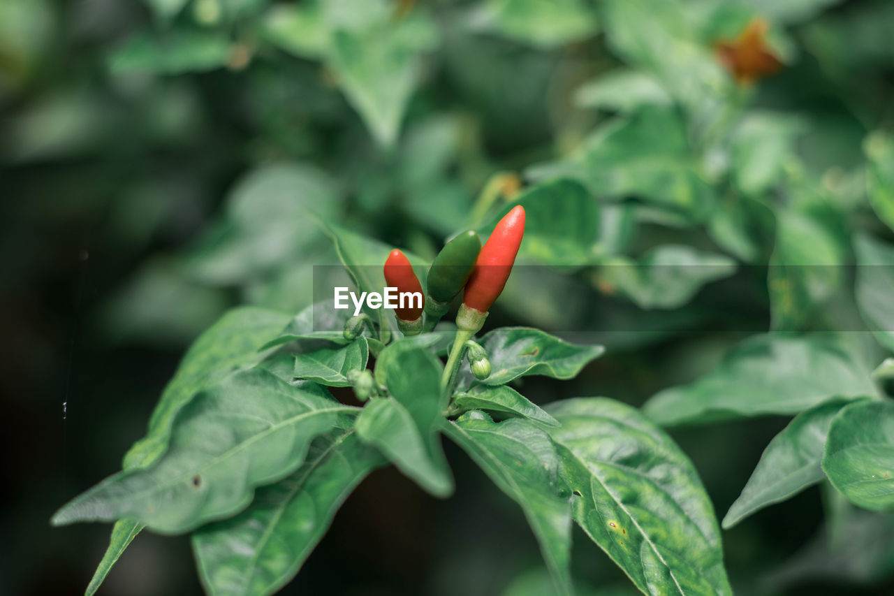 growth, green color, leaf, plant part, plant, freshness, close-up, beauty in nature, red, food and drink, no people, focus on foreground, day, chili pepper, nature, pepper, food, flower, vegetable, spice, flower head