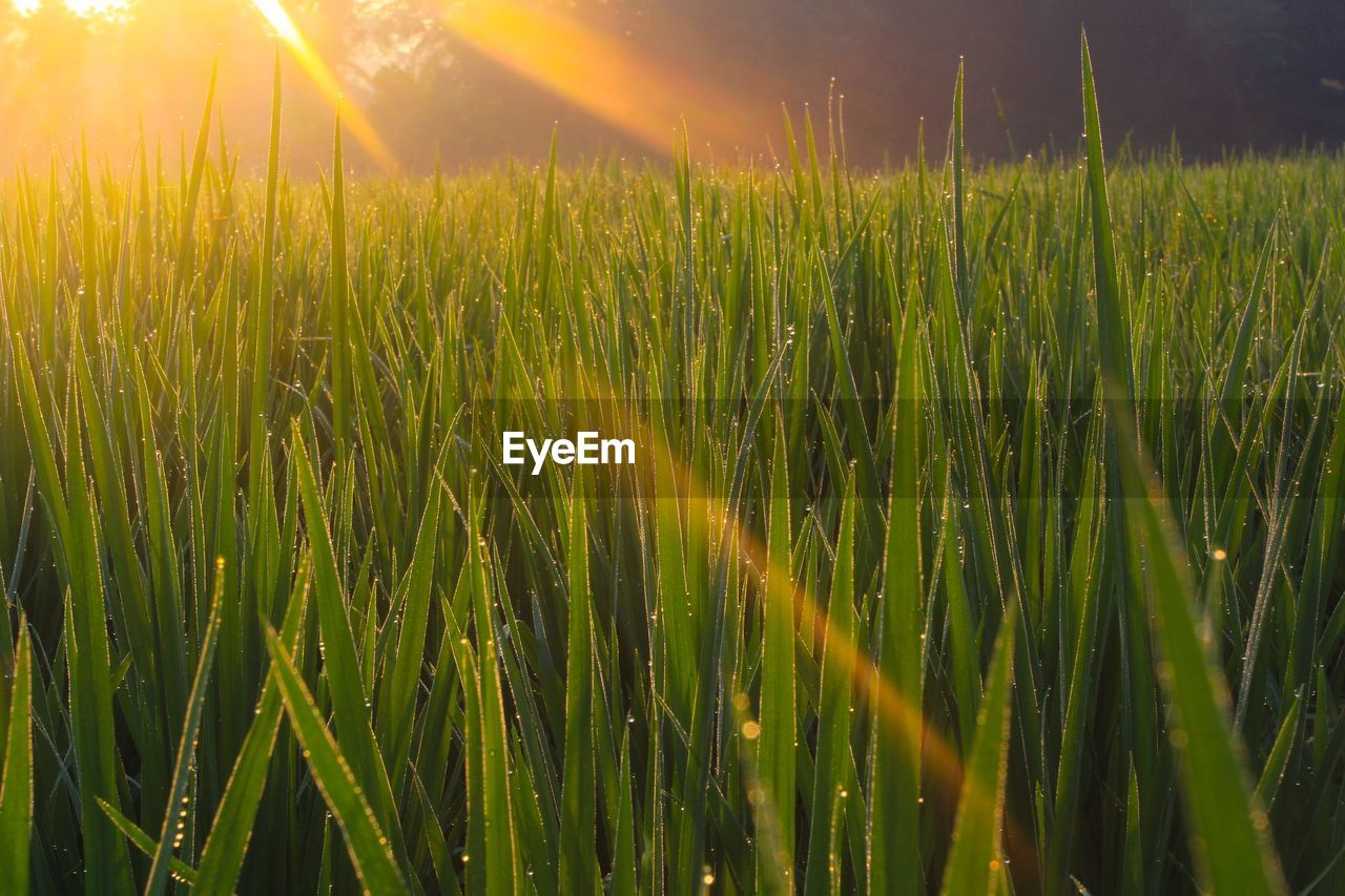 growth, nature, green color, field, grass, tranquility, agriculture, farm, tranquil scene, beauty in nature, no people, crop, lens flare, plant, outdoors, rural scene, sunlight, cereal plant, wheat, day, sun, scenics, close-up, rice paddy, sunset, freshness, sky