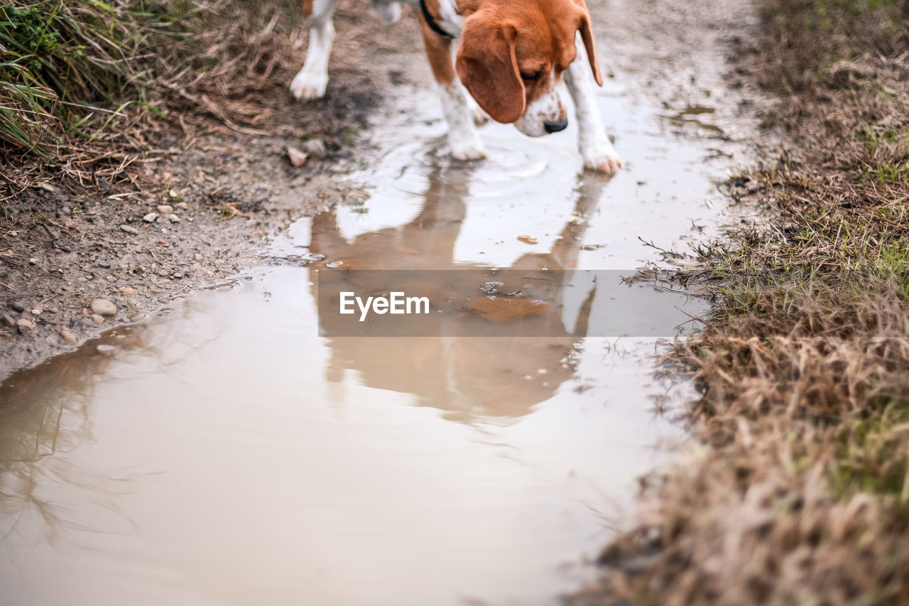 animal themes, domestic animals, one animal, mammal, pets, domestic, animal, reflection, dog, canine, water, vertebrate, day, puddle, nature, no people, dirt, land, motion, drinking, mud