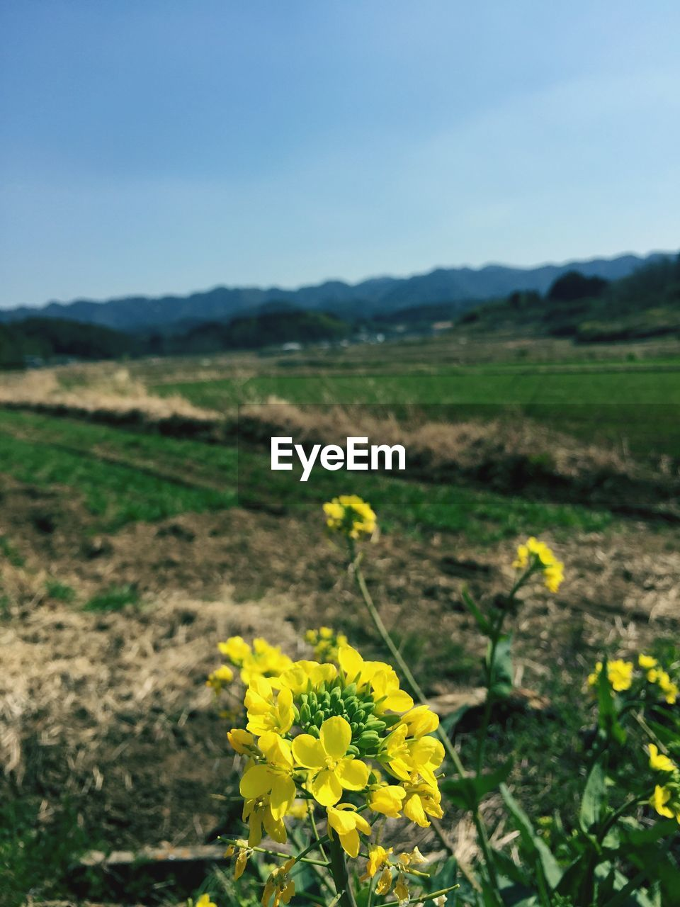 yellow, flower, field, nature, agriculture, growth, beauty in nature, fragility, farm, landscape, rural scene, outdoors, day, plant, mustard plant, no people, tranquility, freshness, oilseed rape, cultivated, scenics, flower head, close-up, sky