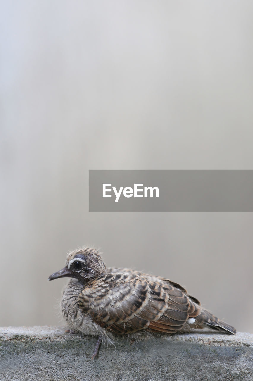animal themes, animal, vertebrate, bird, animal wildlife, animals in the wild, one animal, focus on foreground, day, close-up, no people, copy space, side view, sparrow, perching, nature, young animal, outdoors, solid, full length, mouth open