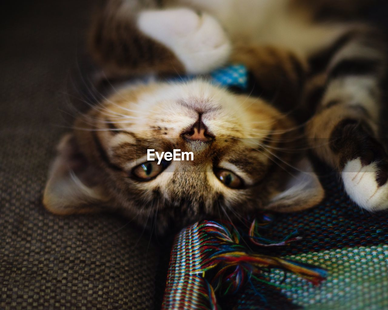 cat, one animal, domestic cat, domestic, pets, mammal, animal themes, animal, domestic animals, feline, vertebrate, looking at camera, indoors, portrait, relaxation, no people, furniture, close-up, lying down, animal body part, whisker, animal head, animal eye, tabby