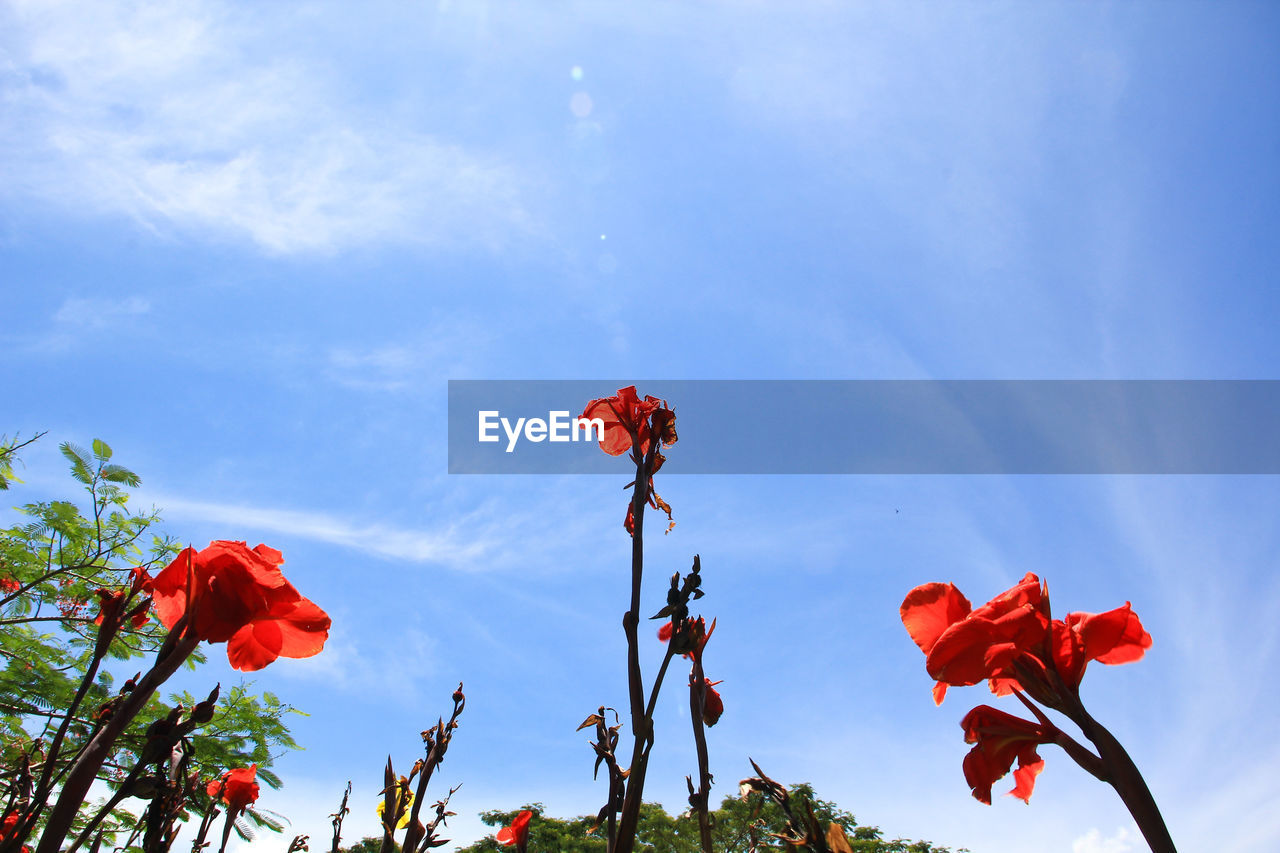flower, flowering plant, plant, beauty in nature, petal, fragility, vulnerability, sky, freshness, growth, inflorescence, flower head, nature, red, close-up, low angle view, no people, cloud - sky, day, focus on foreground