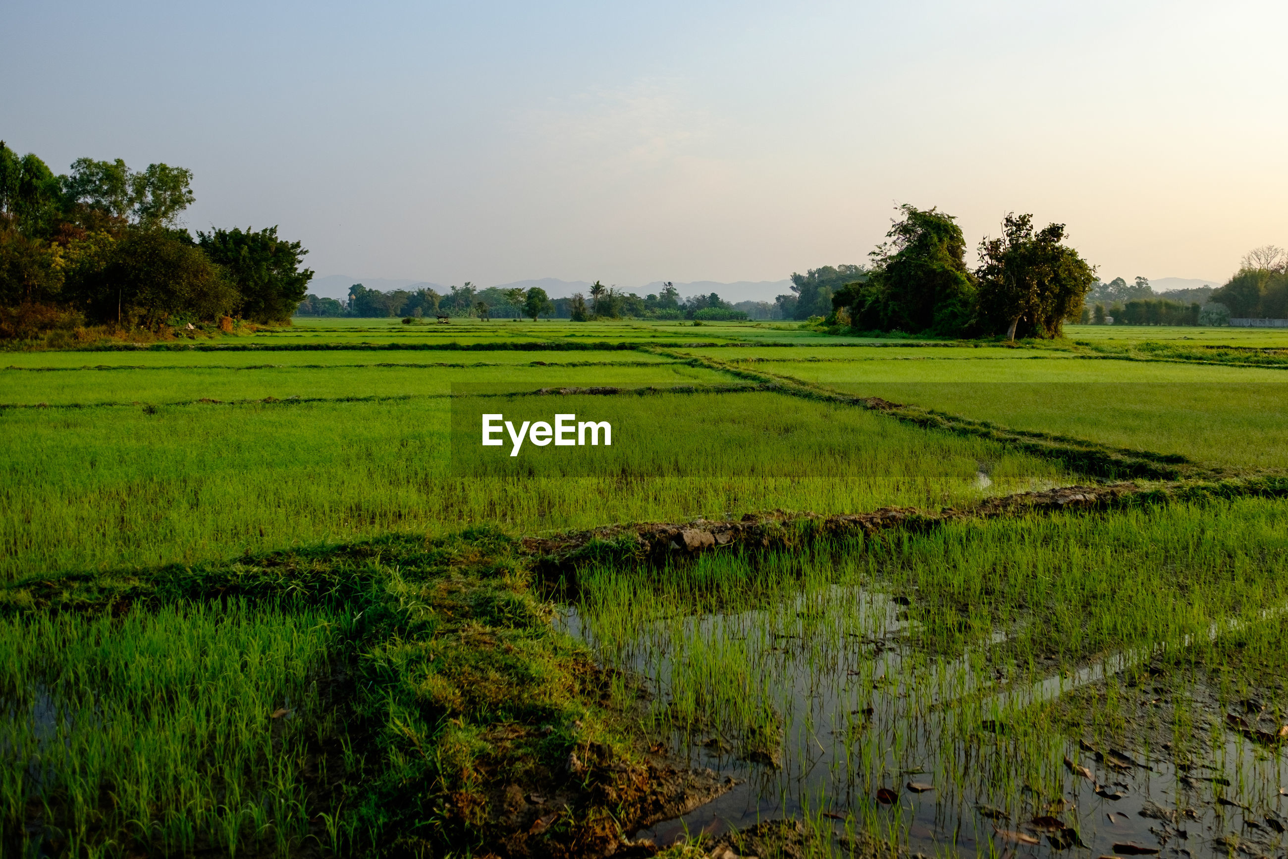 SCENIC VIEW OF RICE PADDY FIELD AGAINST SKY