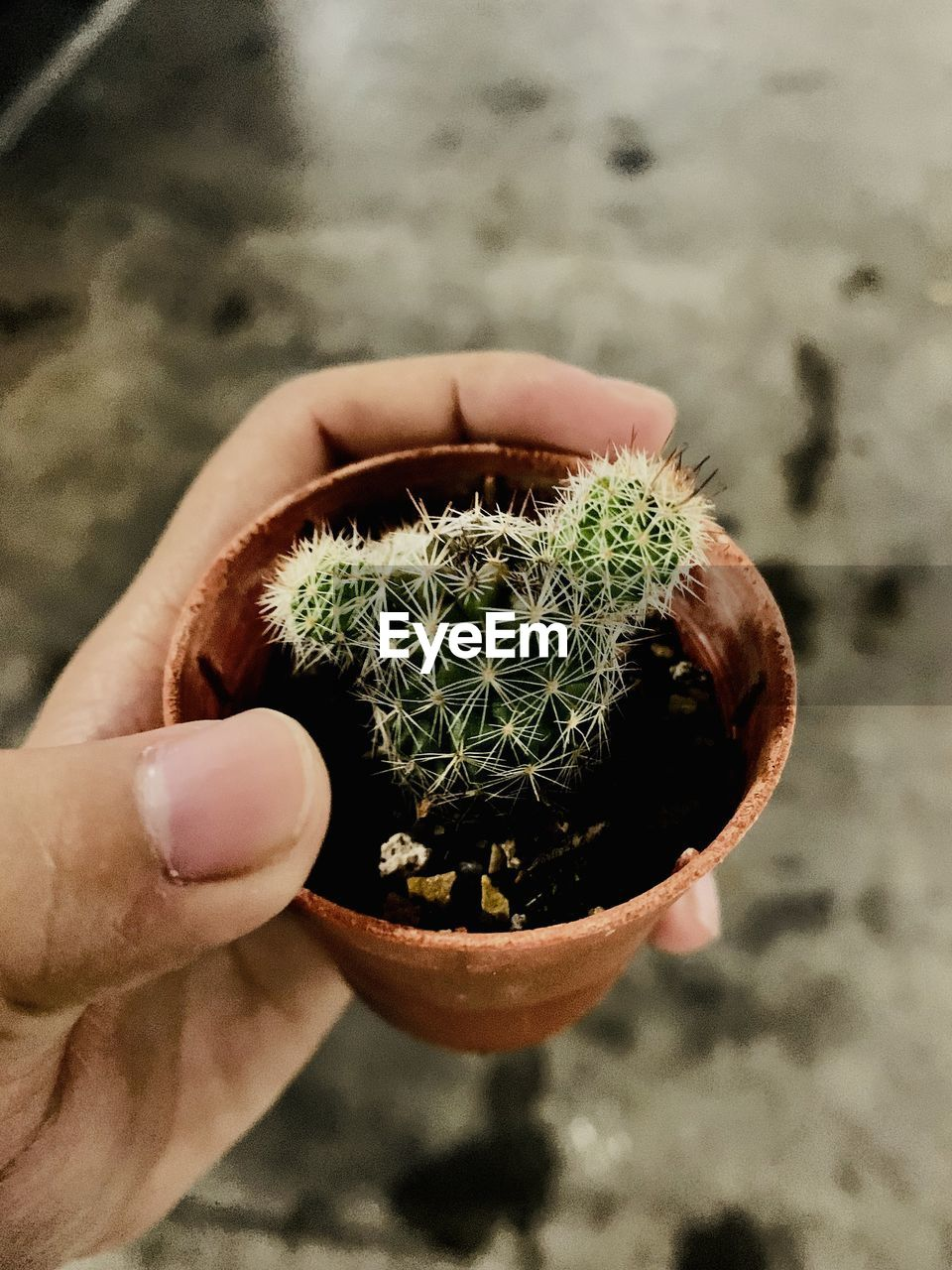 Cropped hand of person holding small potted cactus plant
