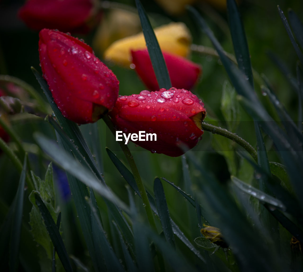 red, growth, drop, nature, wet, plant, beauty in nature, water, close-up, no people, freshness, green color, outdoors, flower, leaf, raindrop, day, fragility, flower head