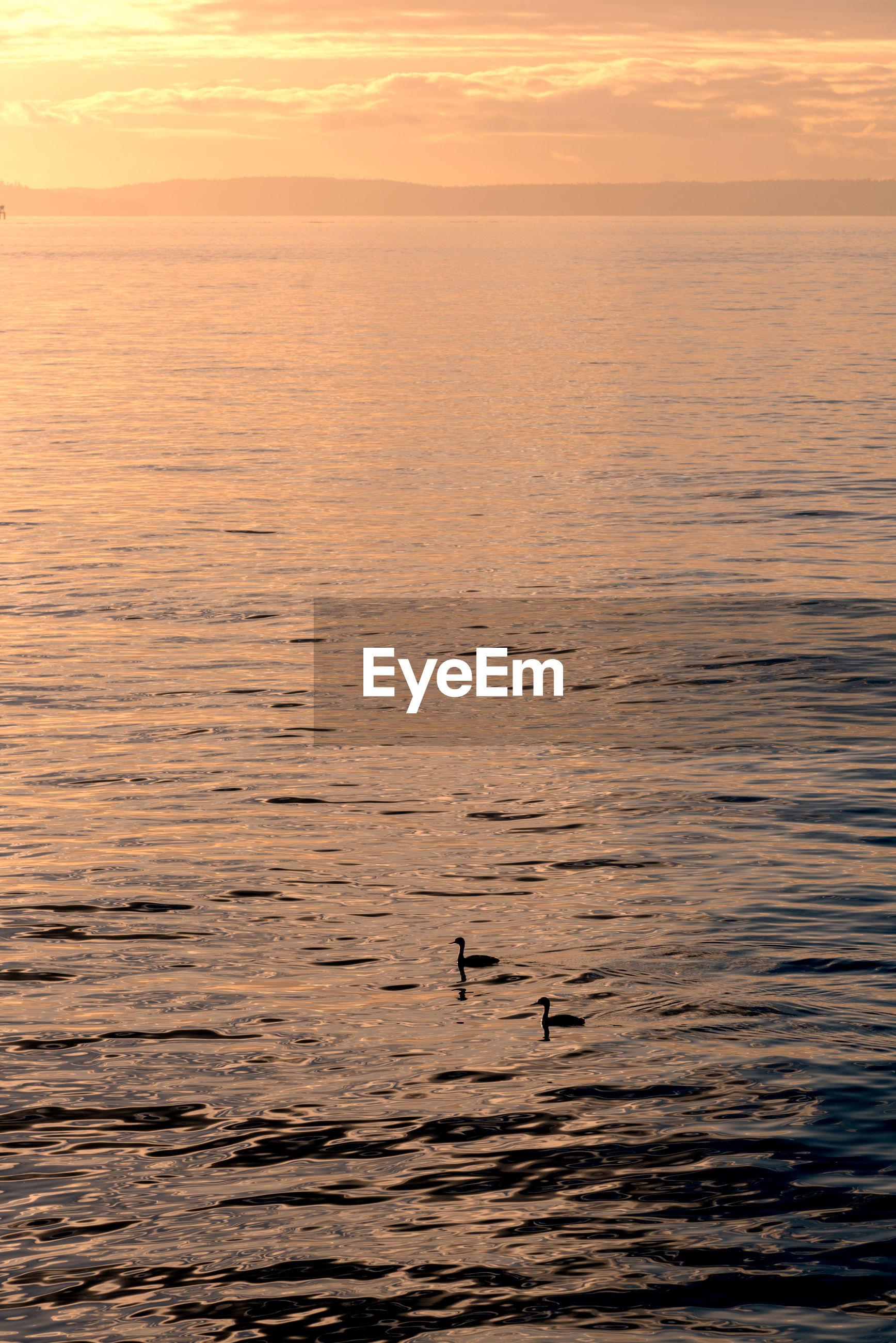 Water birds at sunset on elliott bay.