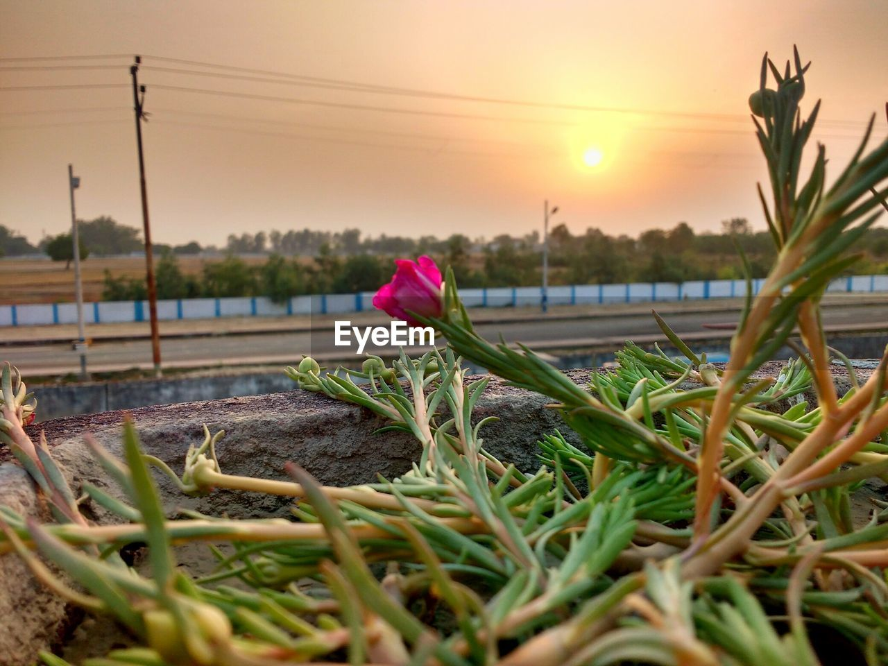 plant, beauty in nature, growth, sky, nature, sunset, flower, fragility, vulnerability, flowering plant, close-up, freshness, water, pink color, selective focus, no people, sun, green color, plant part, outdoors, flower head