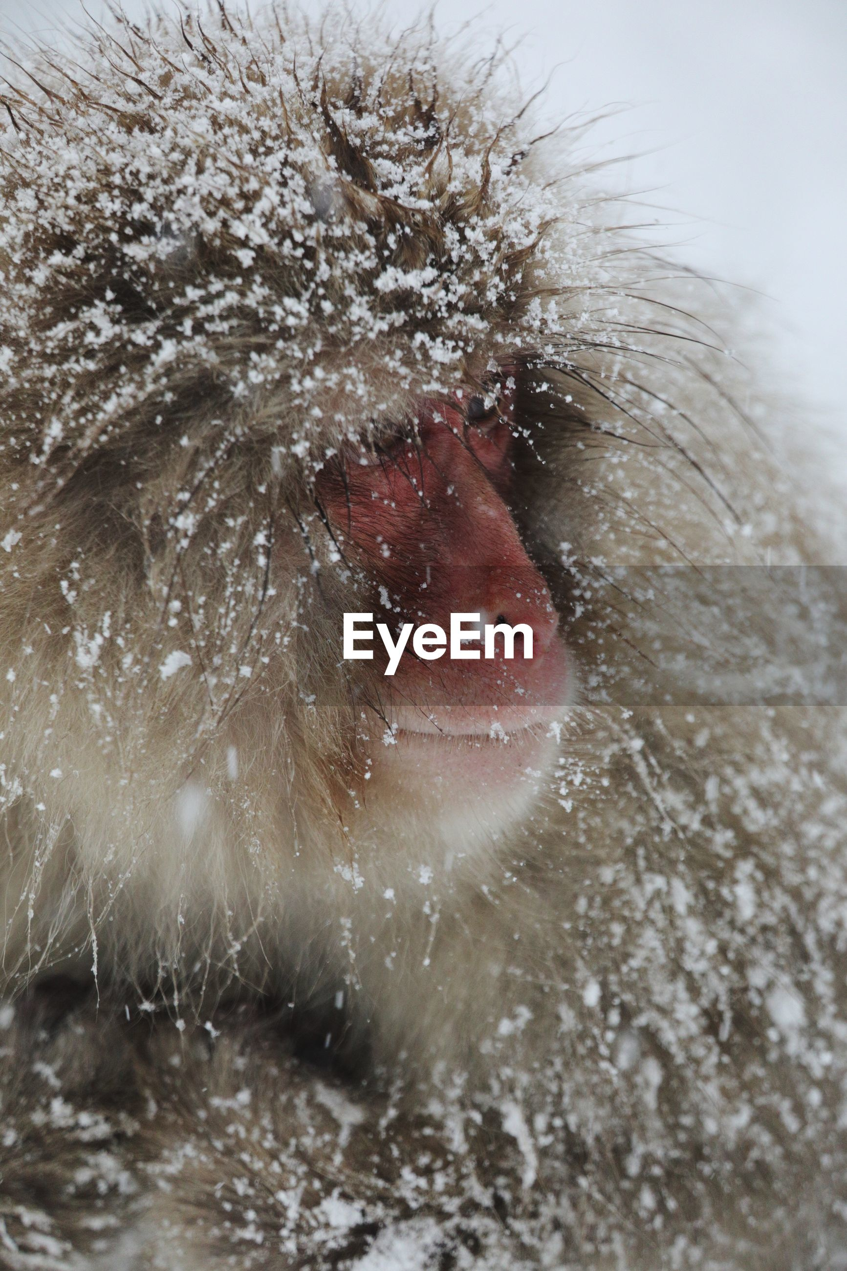 Close-up of japanese macaque during winter