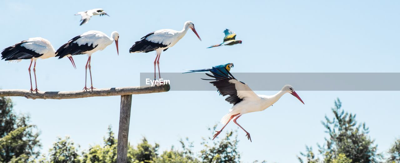 vertebrate, animal, animal wildlife, animal themes, animals in the wild, sky, bird, group of animals, nature, tree, no people, day, low angle view, flying, spread wings, plant, clear sky, stork, outdoors, beak