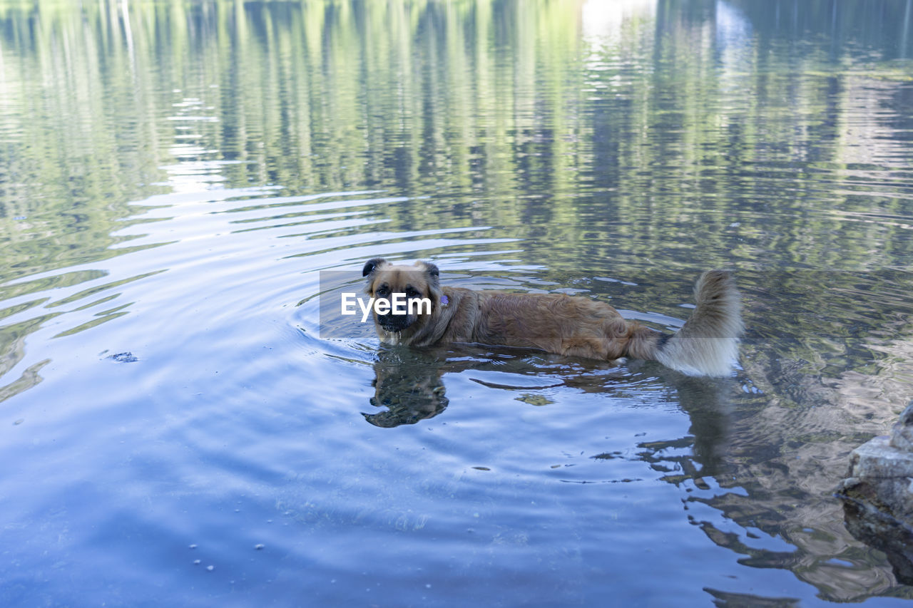 water, animal themes, animal, one animal, vertebrate, mammal, waterfront, lake, swimming, animals in the wild, dog, animal wildlife, canine, rippled, nature, day, pets, no people, reflection, outdoors