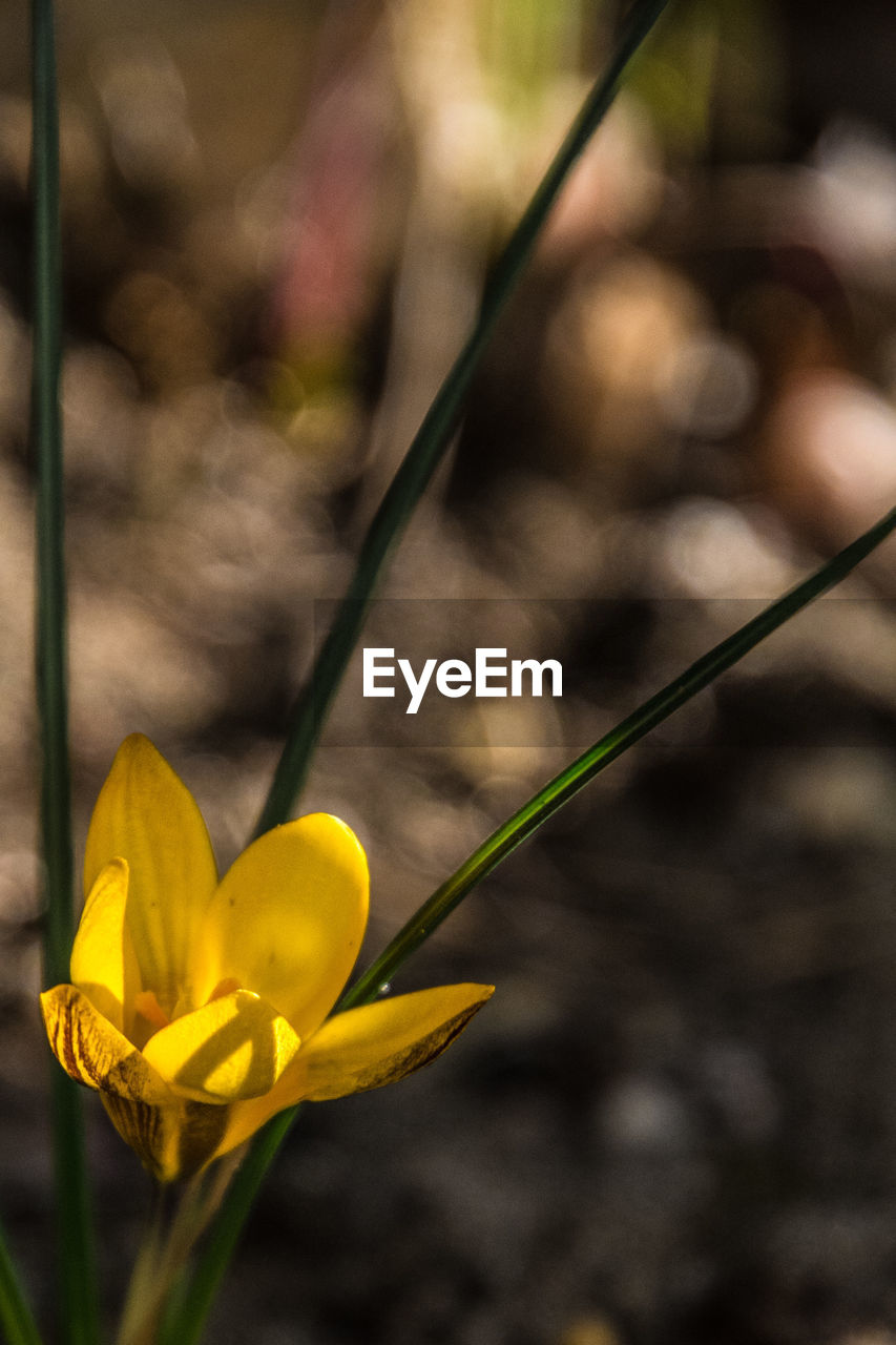 flower, fragility, yellow, petal, freshness, nature, growth, beauty in nature, focus on foreground, outdoors, day, close-up, plant, flower head, no people, blooming, springtime