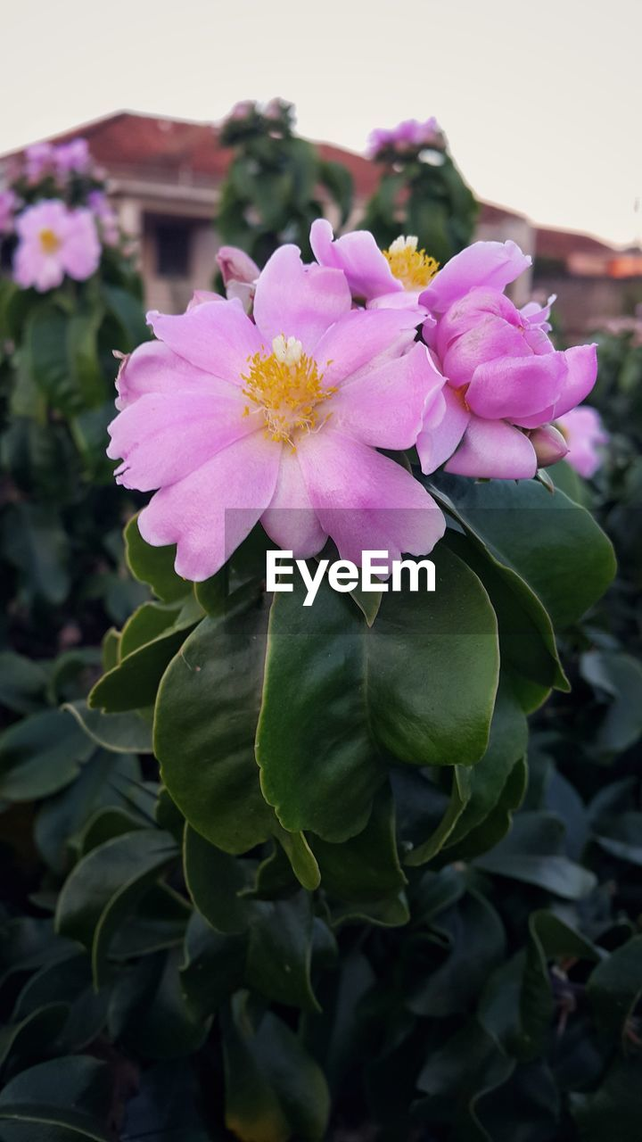 flower, petal, beauty in nature, nature, fragility, flower head, freshness, pink color, growth, plant, outdoors, focus on foreground, close-up, blooming, day, no people, leaf, green color