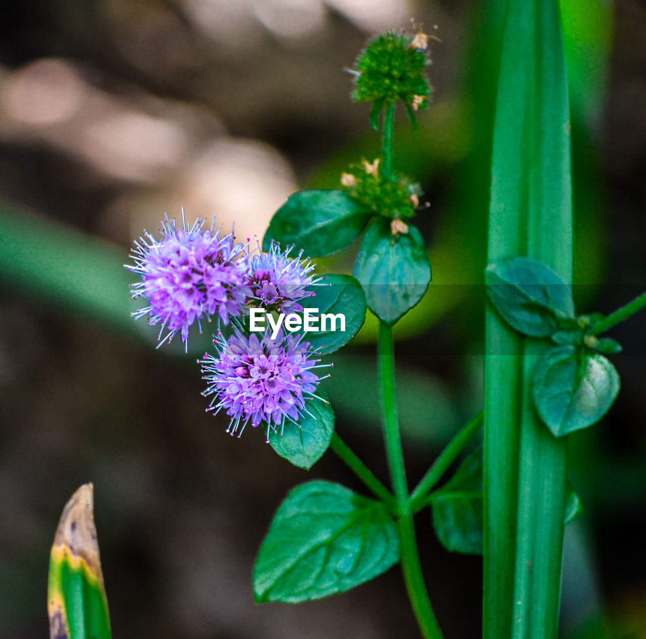 flower, flowering plant, plant, growth, freshness, beauty in nature, vulnerability, fragility, close-up, plant part, petal, flower head, leaf, inflorescence, focus on foreground, purple, green color, nature, day, no people, outdoors