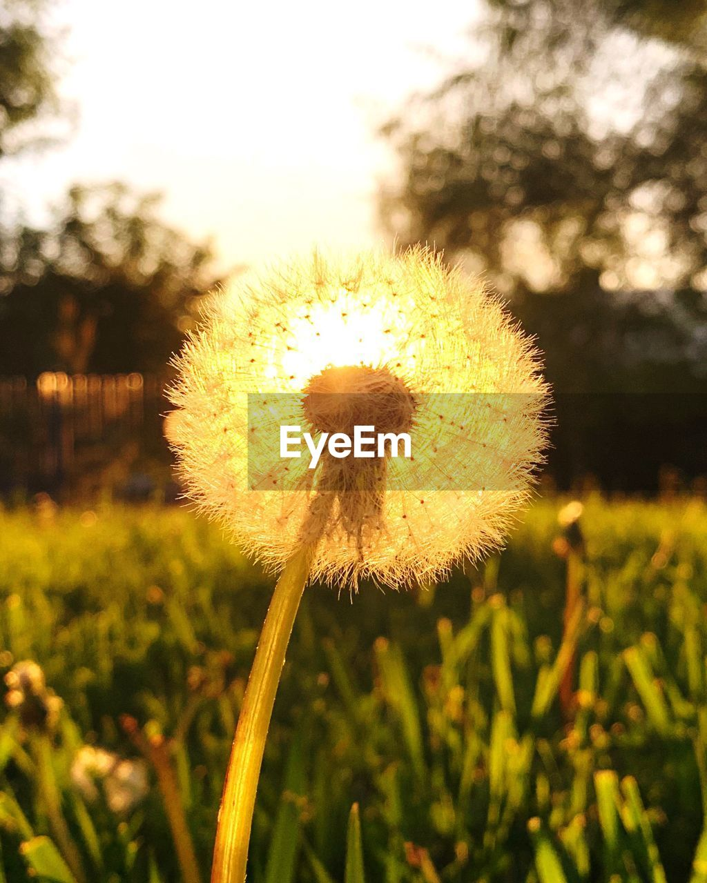 plant, flower, growth, fragility, flowering plant, beauty in nature, vulnerability, freshness, close-up, dandelion, nature, focus on foreground, no people, flower head, plant stem, field, inflorescence, day, yellow, softness, outdoors, dandelion seed