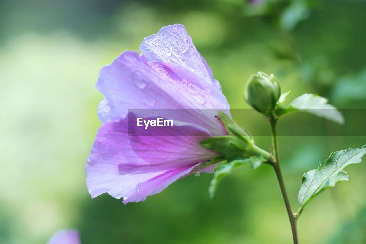 beauty in nature, plant, freshness, flowering plant, flower, petal, close-up, vulnerability, fragility, growth, inflorescence, flower head, focus on foreground, nature, no people, day, outdoors, selective focus, water, purple