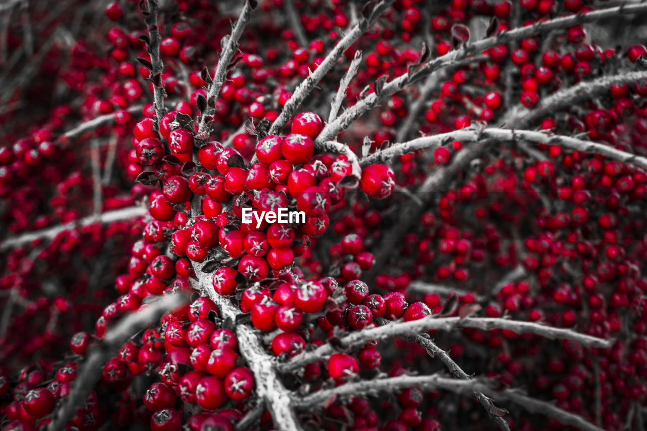 red, fruit, berry fruit, growth, food and drink, rowanberry, tree, nature, day, outdoors, growing, focus on foreground, twig, rose hip, branch, freshness, beauty in nature, no people, food, close-up, plant, healthy eating