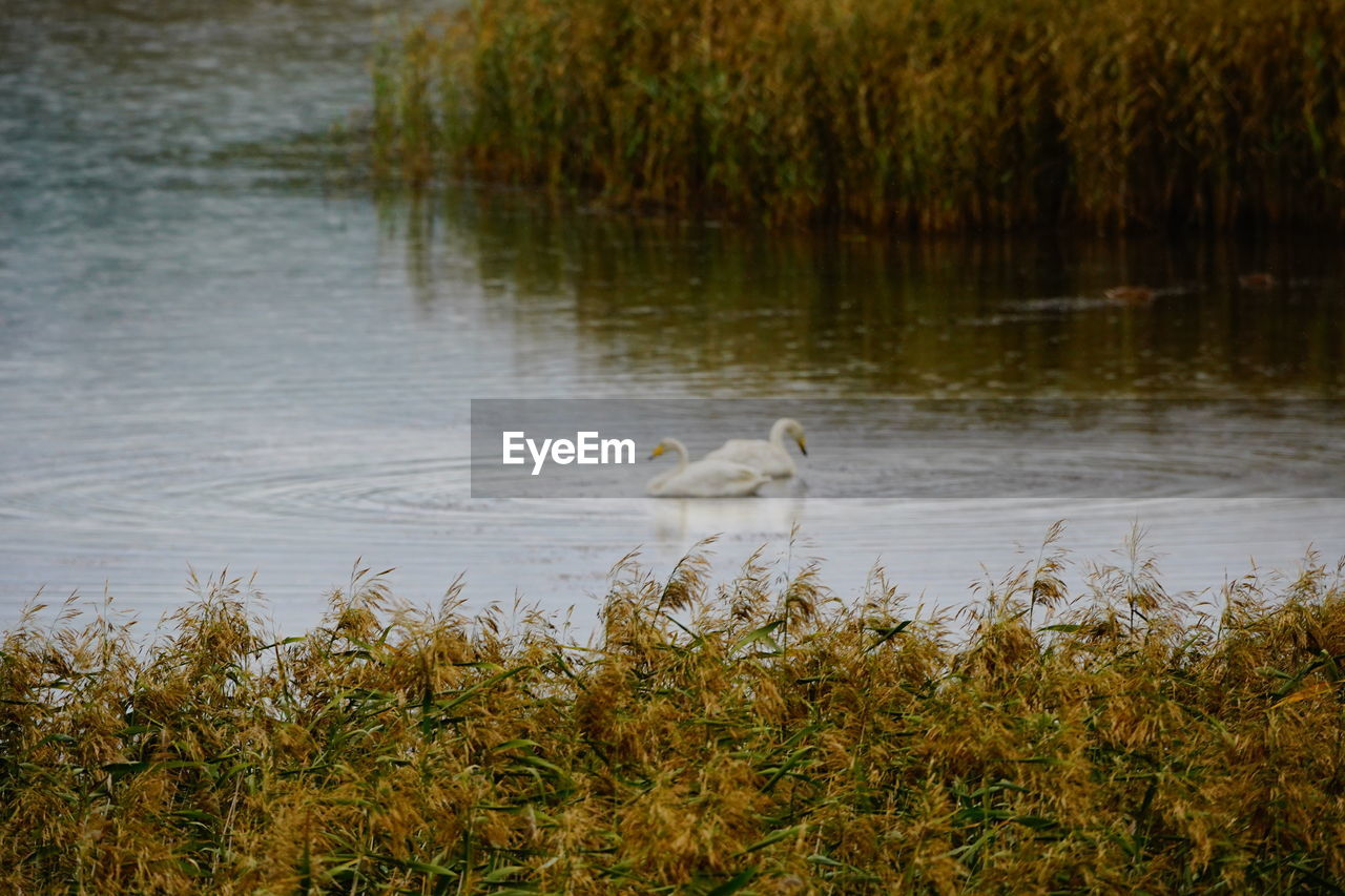water, animal wildlife, animals in the wild, animal themes, animal, vertebrate, lake, bird, plant, nature, no people, day, one animal, growth, white color, beauty in nature, water bird, grass, outdoors, cygnet