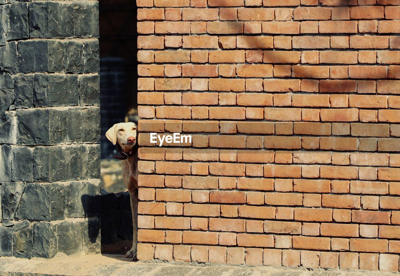 Dog standing by brick wall