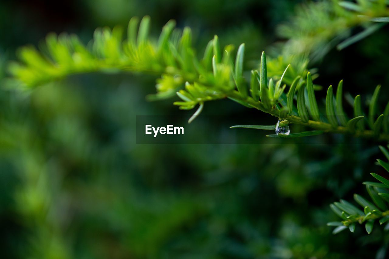 Close-up of water drop on pine tree
