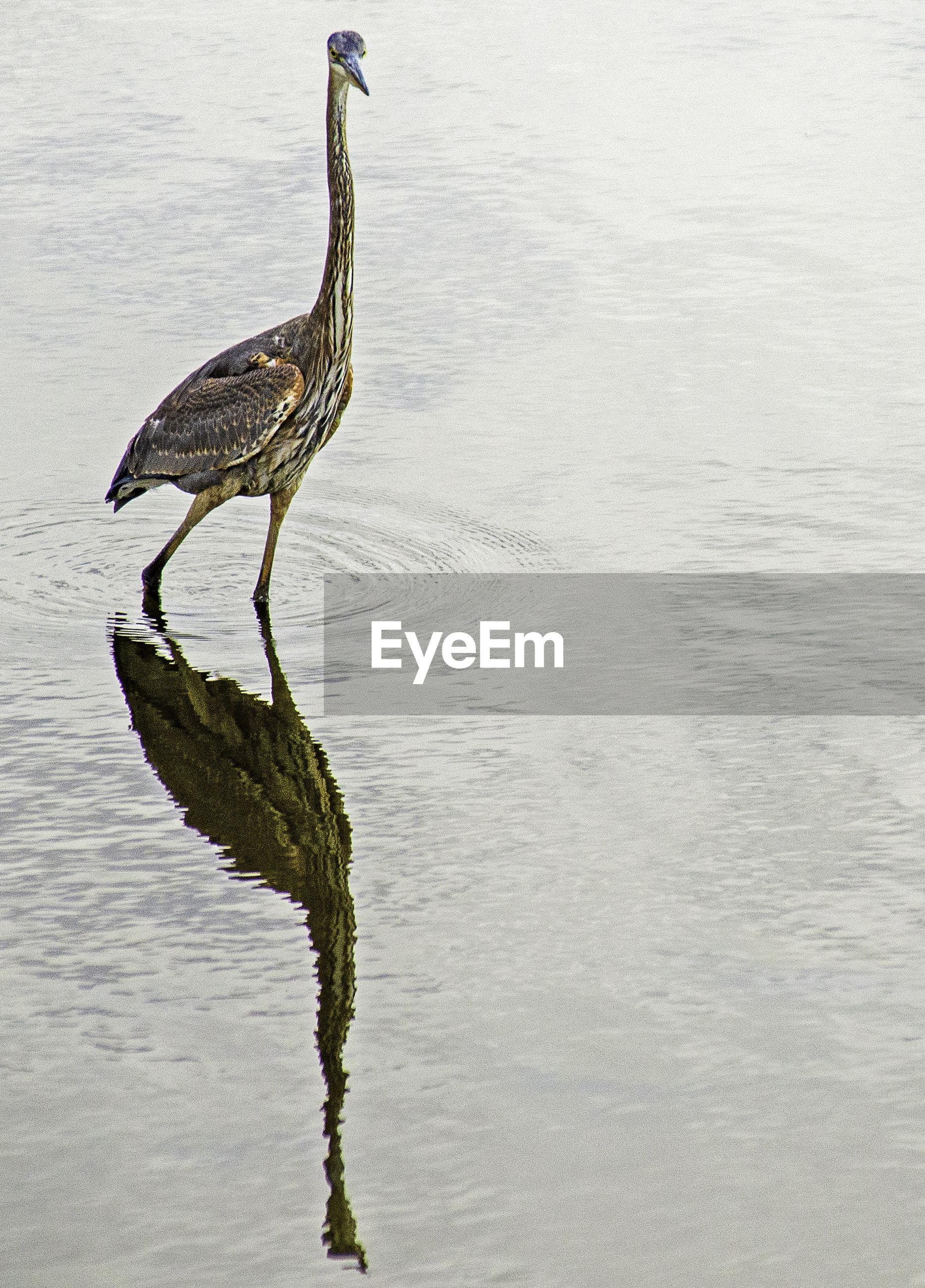 Great blue heron perching on a lake