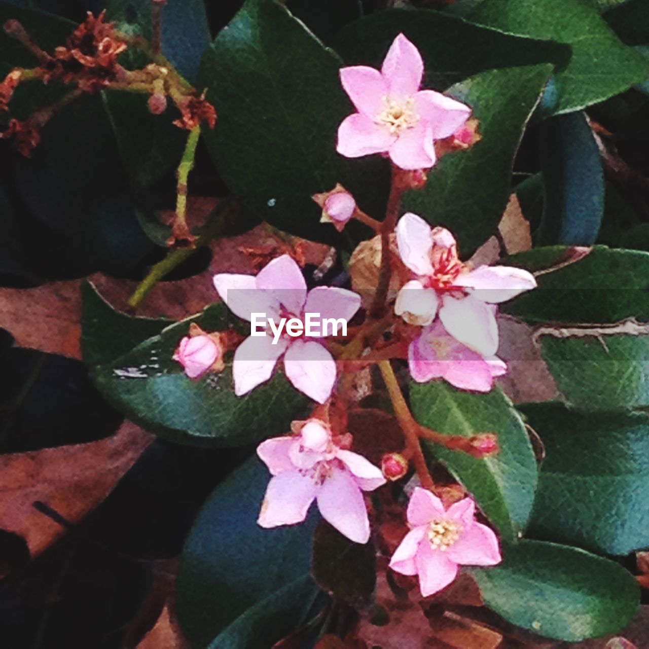 flower, fragility, growth, beauty in nature, petal, nature, flower head, freshness, high angle view, pink color, plant, day, outdoors, leaf, no people, periwinkle, springtime, close-up, blooming