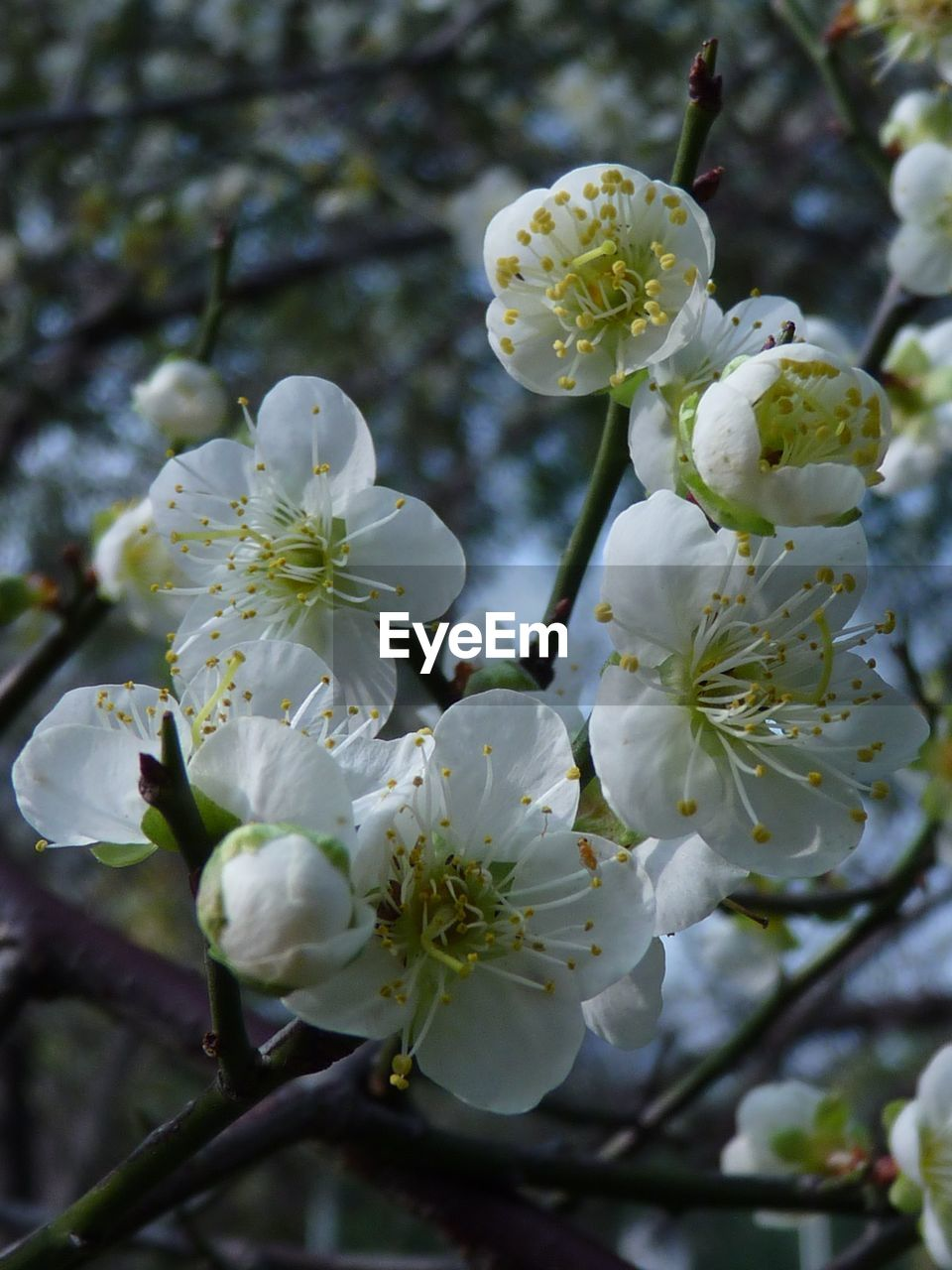 flower, white color, fragility, blossom, beauty in nature, growth, tree, apple blossom, petal, springtime, nature, freshness, botany, apple tree, orchard, branch, twig, close-up, flower head, no people, day, focus on foreground, stamen, outdoors, blooming, plum blossom