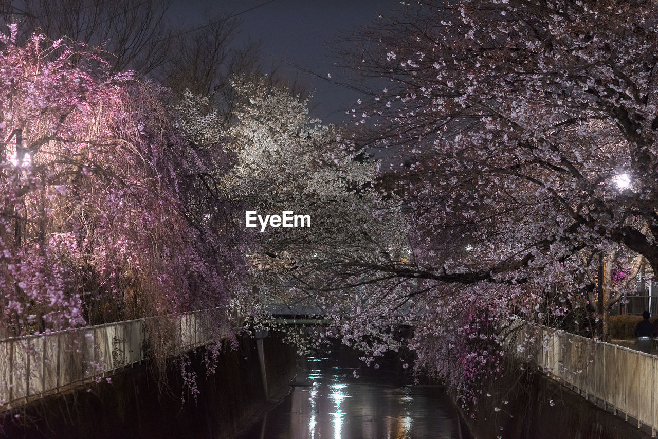 HIGH ANGLE VIEW OF WET CHERRY BLOSSOM AT NIGHT
